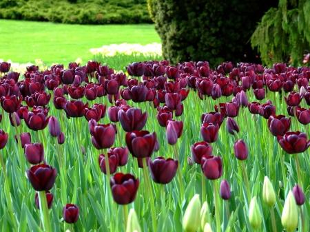 Tulipes à l'infini