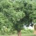 Un manguier à Kintampo