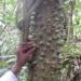 Un arbre qui sait se défendre