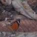 Un papillon au hasard de la ballade