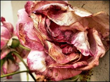 medium_rose_fanee.jpg