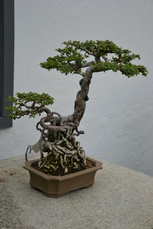 montréal,voyage,bonsaï,jardin,botanique,