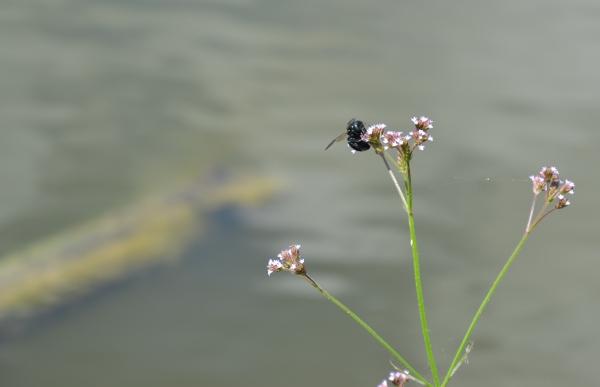 louisiane,i10,abeille,insecte,étang,canne à sucre