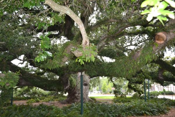 Lafayette,louisiane,chêne;500,ans,cathédrale