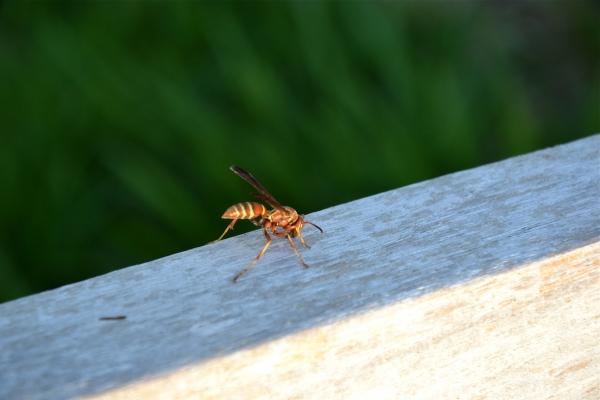 guèpe,insecte,nature